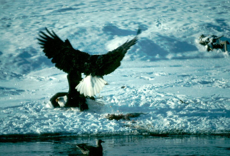 Bald Eagle (Haliaeetus leucocephalus)<!--흰머리수리--> fighting over fish; DISPLAY FULL IMAGE.