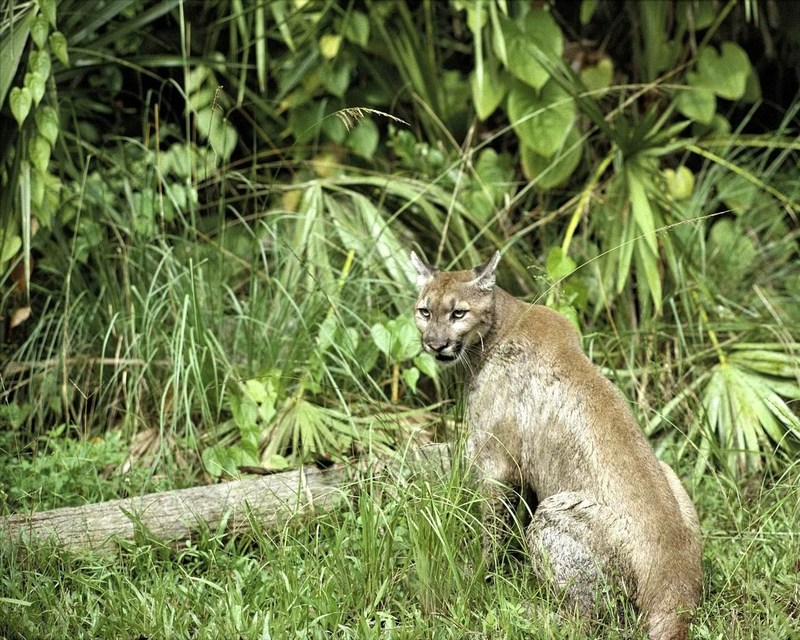 Florida Panther (Puma concolor coryi)<!--플로리다퓨마/쿠거-->; DISPLAY FULL IMAGE.