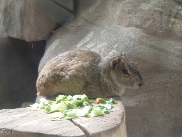 Rock Cavy; Image ONLY