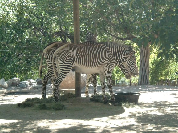 Grevy's Zebra; Image ONLY