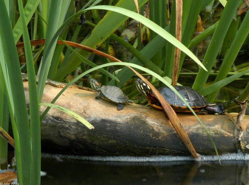 Misc. Critters - Red-eared Slider (Trachemys scripta elegans) and Eastern Painted Turtle (Chrysemys picta picta)002.JPG; DISPLAY FULL IMAGE.