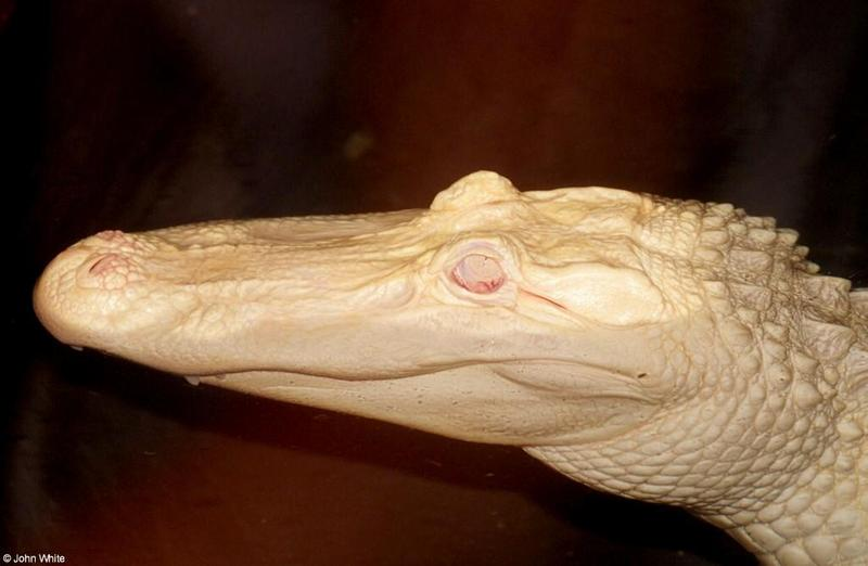 Small American Alligator Flood - albino gator005.jpg - gator (Alligator mississippiensis); DISPLAY FULL IMAGE.