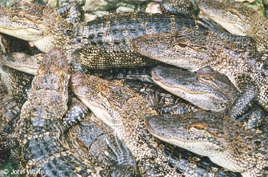 Small American Alligator Flood - gator03.jpg; Image ONLY