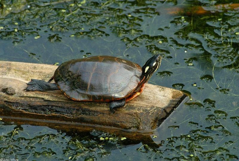 Turtles and Frogs - Eastern Painted Turtle (Chrysemys picta picta)031.JPG; DISPLAY FULL IMAGE.