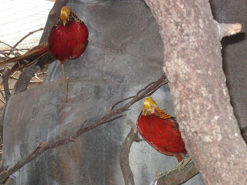 Golden Pheasants; DISPLAY FULL IMAGE.