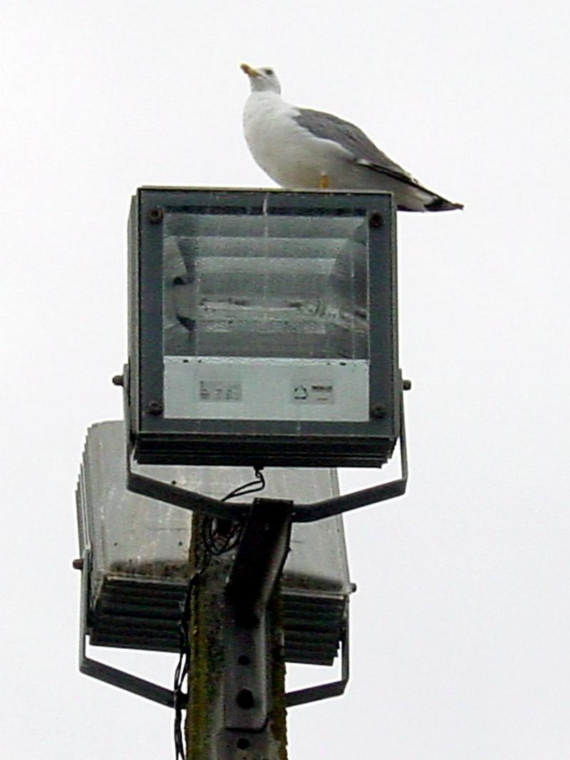 Gull (Larus argentatus); DISPLAY FULL IMAGE.