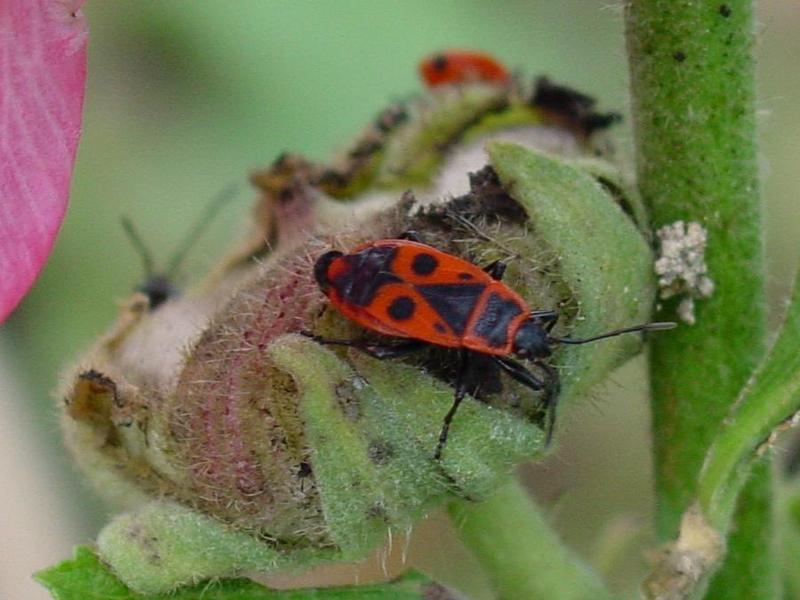 escaravello 092.jpg