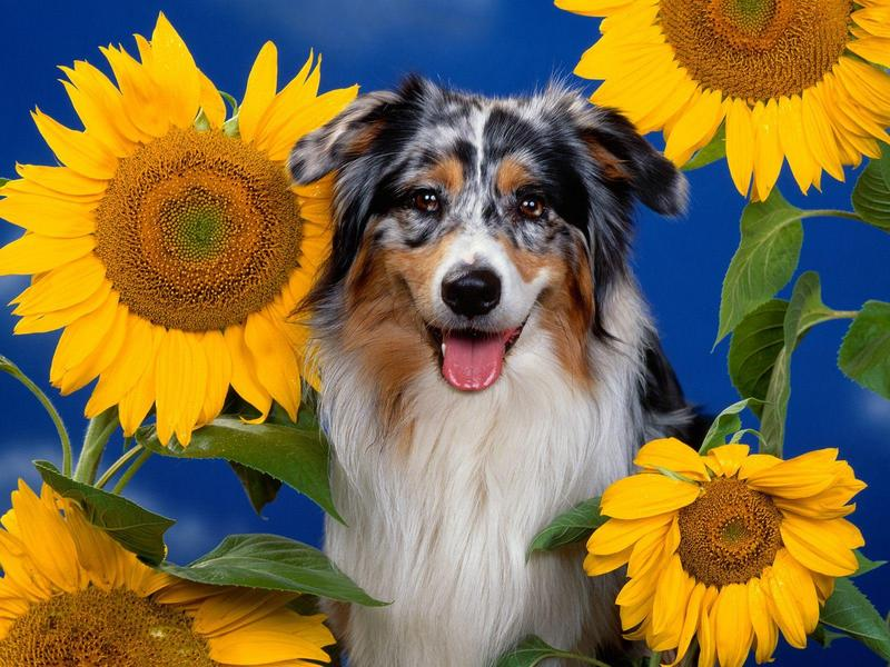 Australian Shepherd; DISPLAY FULL IMAGE.