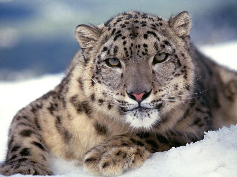 Snow Leopard; DISPLAY FULL IMAGE.