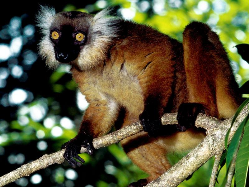 Black Lemur, Malagasy Republic; DISPLAY FULL IMAGE.