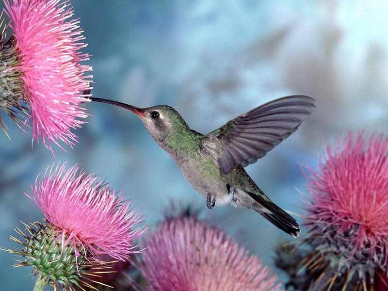 Broad-billed Hummingbird; DISPLAY FULL IMAGE.