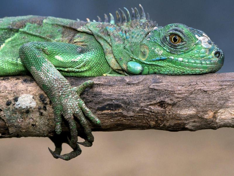 Green Iguana; DISPLAY FULL IMAGE.