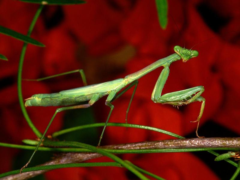 Praying Mantis; DISPLAY FULL IMAGE.