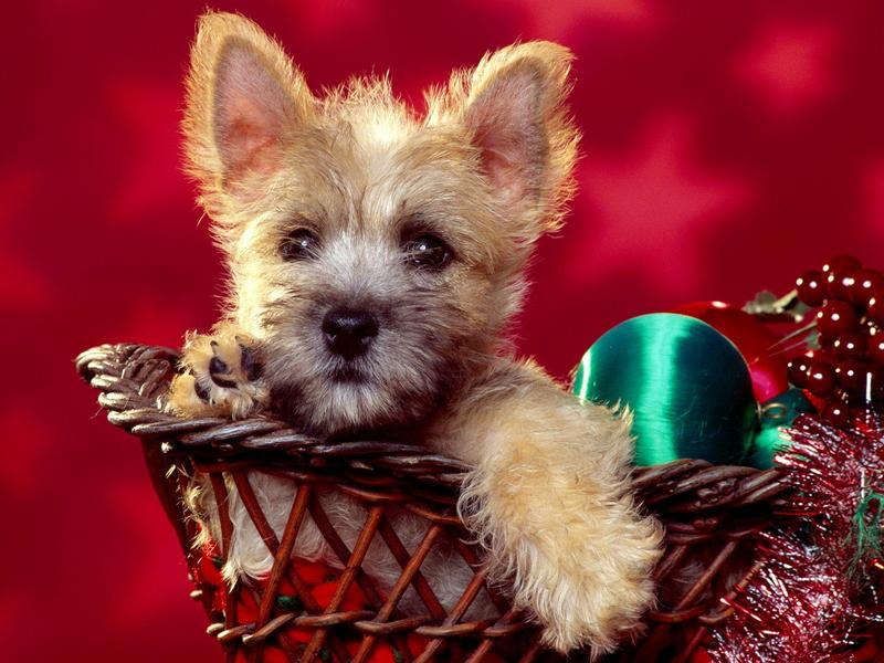 Season's Wishes, Cairn Terrier Puppy; DISPLAY FULL IMAGE.
