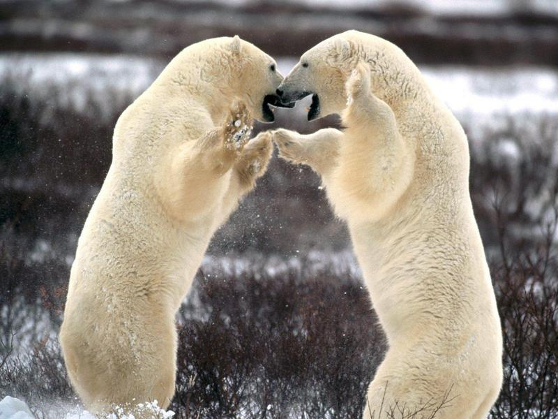 Sparring Polar Bears, Churchill, Manitoba, Canada; DISPLAY FULL IMAGE.