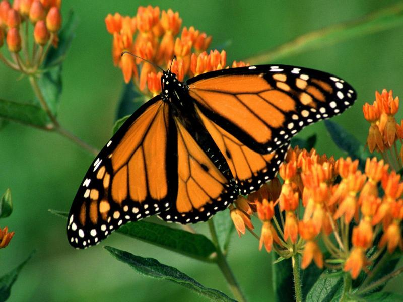 Monarch Butterfly; DISPLAY FULL IMAGE.
