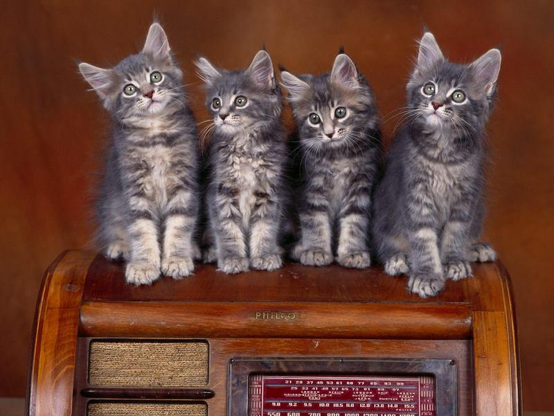 Radio Tuners, Maine Coon Kittens (Cats); DISPLAY FULL IMAGE.
