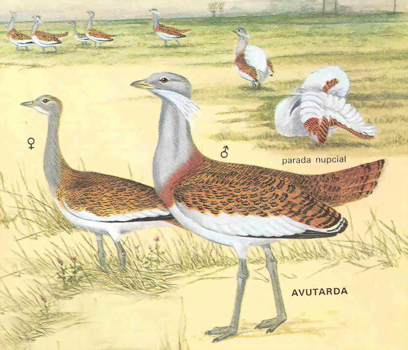 Otis tarda - Great Bustard; DISPLAY FULL IMAGE.