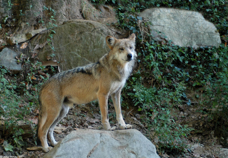 Mexican gray wolf (Canis lupus baileyi); DISPLAY FULL IMAGE.