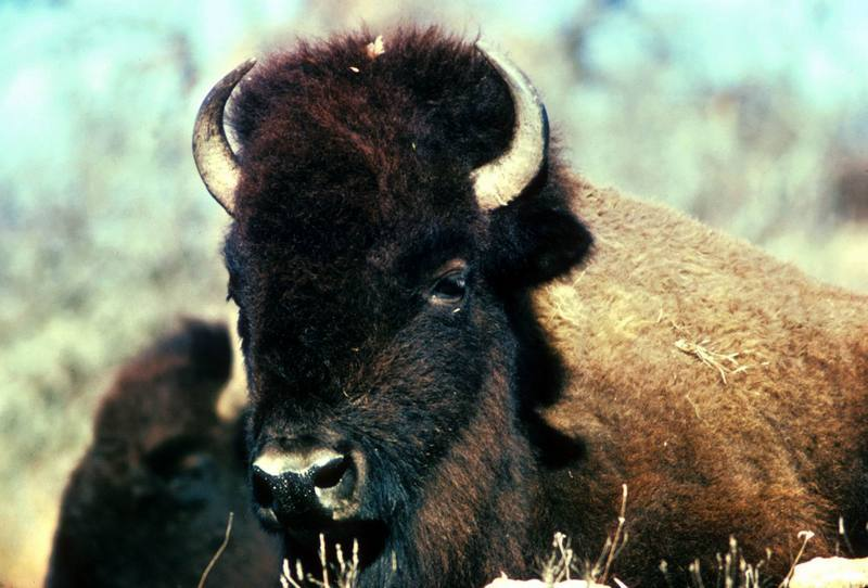 American Bison female (Bison bison) <!--아메리카들소-->; DISPLAY FULL IMAGE.