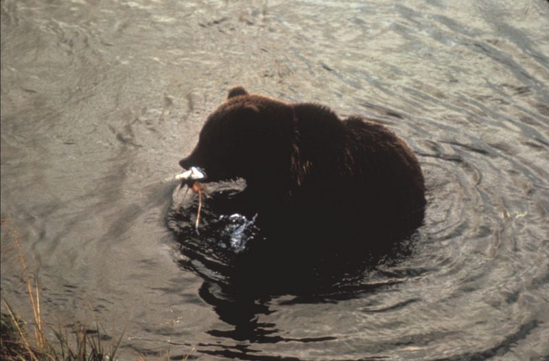 Brown Bear with fish (Ursus arctos) <!--불곰-->; DISPLAY FULL IMAGE.