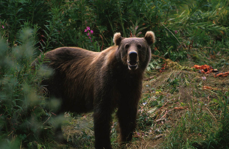 Kodiak Brown Bear (Ursus arctos middendorffi) <!--불곰-->; DISPLAY FULL IMAGE.
