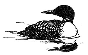 [Drawing] Common Loon (Gavia immer) <!--큰아비-->; Image ONLY