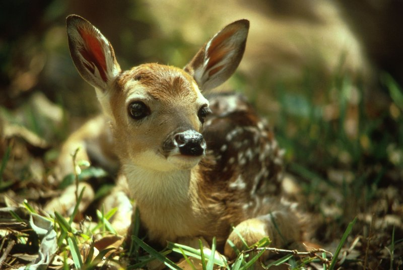 White-tailed Deer fawn (Odocoileus virginianus) <!--흰꼬리사슴-->; DISPLAY FULL IMAGE.