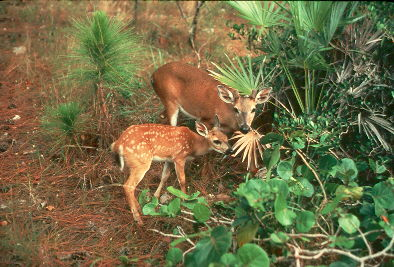 Florida Key Deer mother and fawn (Odocoileus virginianus clavium) <!--플로리다흰꼬리사슴-->; Image ONLY