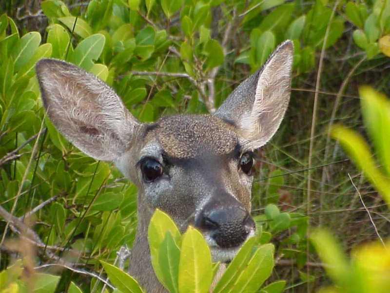 Florida Key Deer (Odocoileus virginianus clavium) <!--플로리다흰꼬리사슴-->; DISPLAY FULL IMAGE.