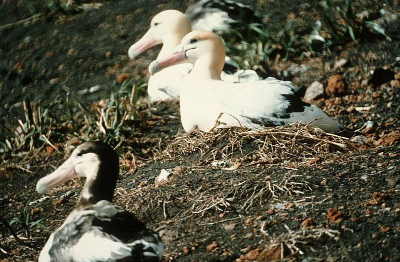 Short-tailed Albatross (Diomedea albatrus) <!--신천옹(알바트로스)-->; DISPLAY FULL IMAGE.
