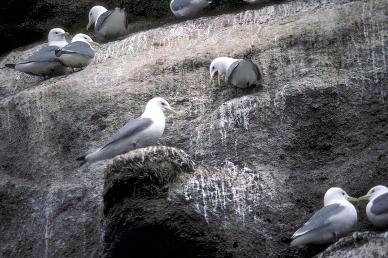 Black-legged Kittiwake colony (Rissa tridactyla) <!--세가락갈매기-->; DISPLAY FULL IMAGE.