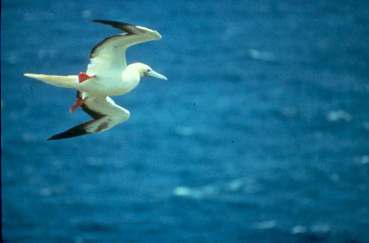 Red-footed Booby in flight (Sula sula) <!--붉은발부비(얼가니새)-->; Image ONLY