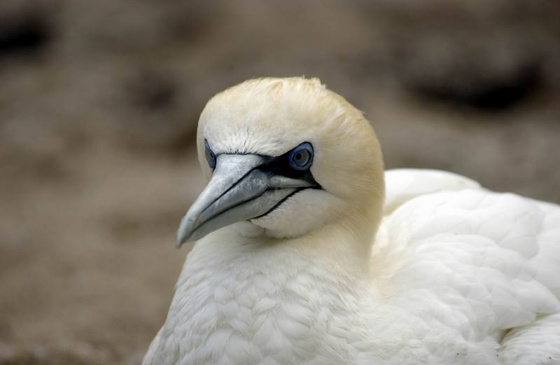 Northern Gannet (Morus bassanus) <!--북방가넷-->; DISPLAY FULL IMAGE.