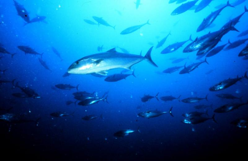Greater Amberjack (Seriola dumerili) <!--잿방어-->; DISPLAY FULL IMAGE.