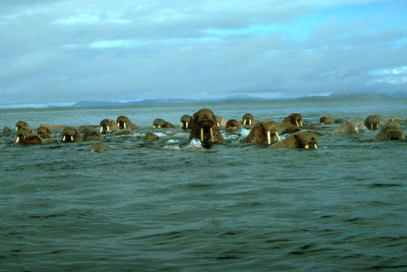 Walrus herd (Odobenus rosmarus) <!--바다코끼리-->; DISPLAY FULL IMAGE.