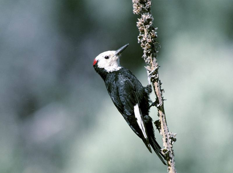White-headed Woodpecker (Picoides albolarvatus) <!--흰머리딱다구리-->; DISPLAY FULL IMAGE.