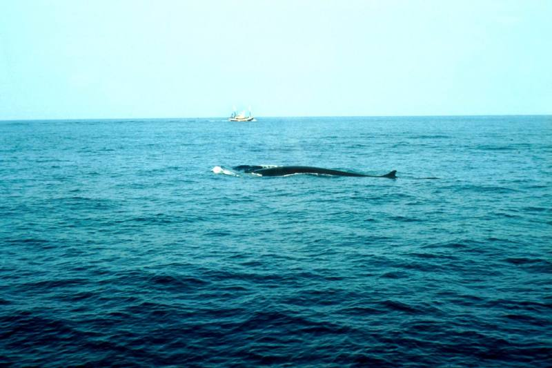 Fin Whale (Balaenoptera physalus) {!--참고래-->; DISPLAY FULL IMAGE.