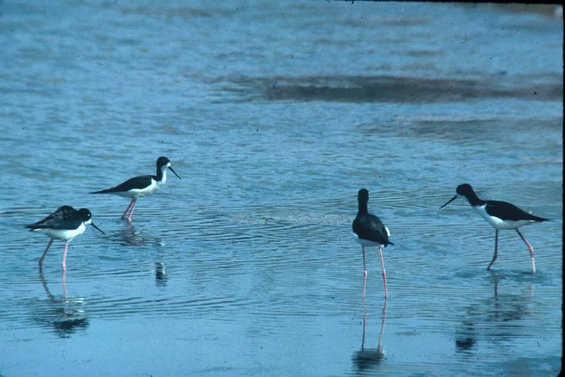 Hawaiian Black-necked Stilt flock (Himantopus mexicanus knudseni) <!--하와이검은목장다리물떼새-->; DISPLAY FULL IMAGE.
