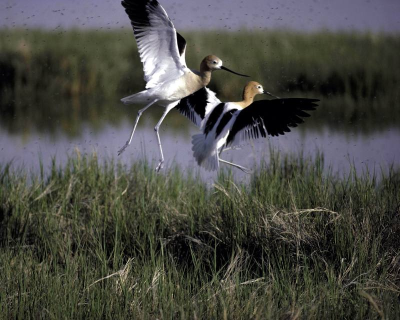 American Avocet pair (Recurvirostra americana) <!--아메리카뒷부리장다리물떼새-->; DISPLAY FULL IMAGE.