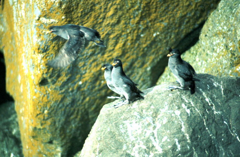 Crested Auklets (Aethia cristatella) <!--뿔바다쇠오리-->; DISPLAY FULL IMAGE.