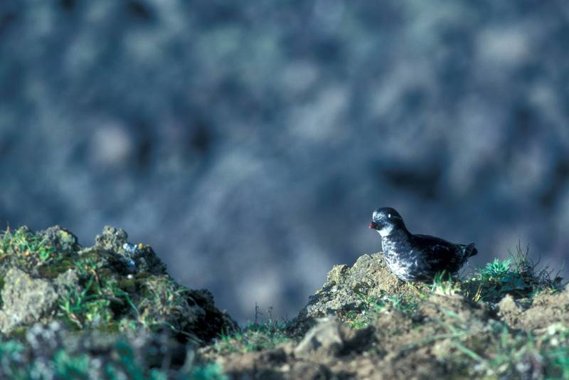Least Auklet (Aethia pusilla) <!--작은바다쇠오리-->; DISPLAY FULL IMAGE.