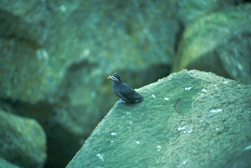 Whiskered Auklet.jpg