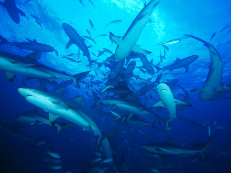 [Gallery CD1] Feeding Frenzy Gray Reef Shark School, Bahamas; DISPLAY FULL IMAGE.