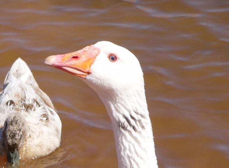 muddy goose; DISPLAY FULL IMAGE.