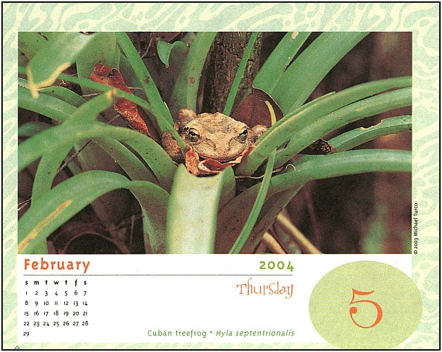 [xLR8 Frogs 2004 Box Calendar] 066 Cuban Tree Frog - Hyla septentrionalis; Image ONLY
