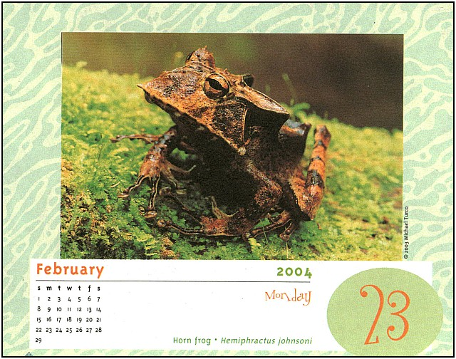 [xLR8 Frogs 2004 Box Calendar] 100 Horn frog - Hemiphractus johnsoni; Image ONLY