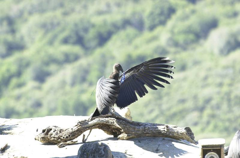 a study of the california condor The chemical is causing eggshell thinning and egg failure for the big birds that are the focus of a multimillion-dollar species recovery effort.