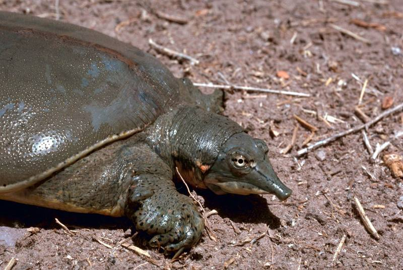 Texas Spiny Softshell Turtle (Apalone spinifera emoryi) <!--무른갑가시자라-->; DISPLAY FULL IMAGE.