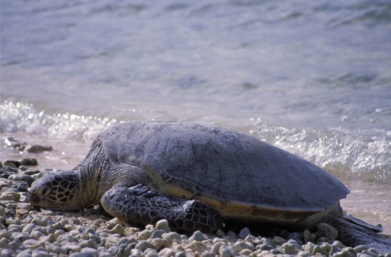 Green Sea Turtle (Chelonia mydas) {!--바다거북-->; DISPLAY FULL IMAGE.